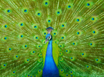 Peacock - India