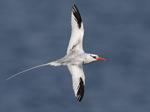 Red-billed Tropicbird - Galapagos Islands