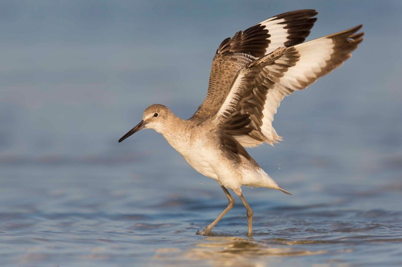 Marbled Godwit wings up - Fort Desoto