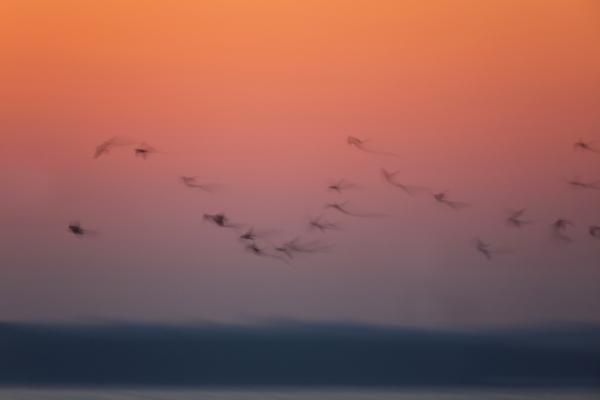 Birdscape of Crows blur