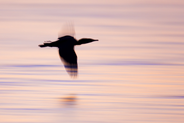 Blur of a Double crested Cormorant