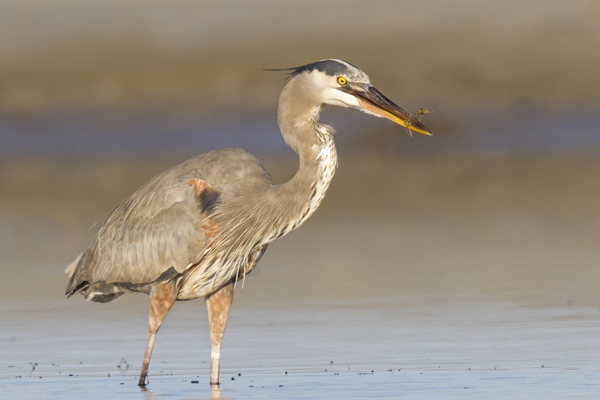 Great Blue Heron catching a Sea Horse