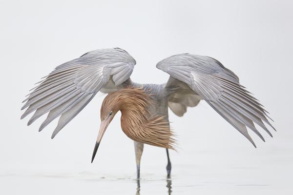 Reddish Egret - Fort Desoto