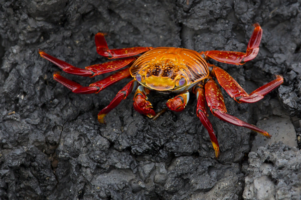 Sally lightfoot Crab - Galapagos