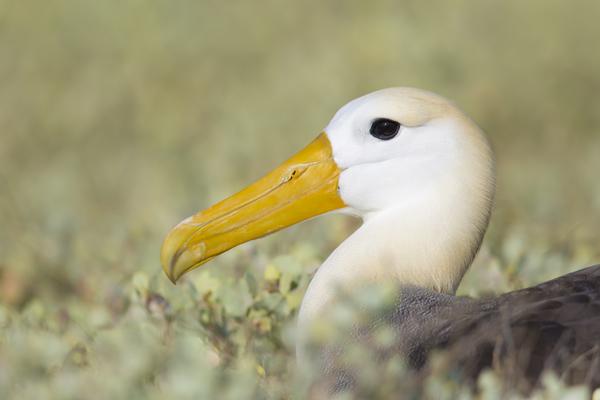 Waved Albatross Galapagos
