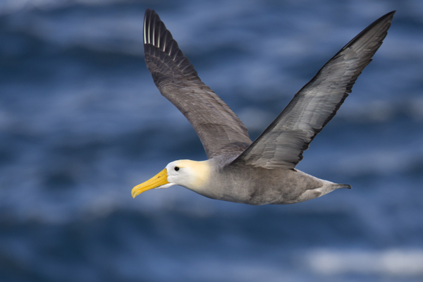 Waved Albatross in flight Galapagos