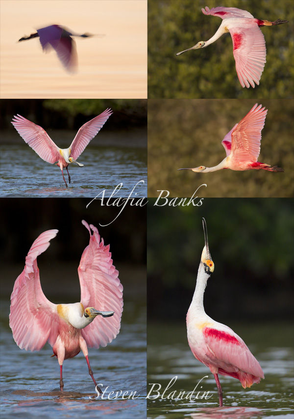 Roseate Spoonbills at Alafia Banks