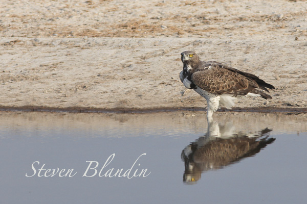 Martial Eagle - Nxai Pan, Botswana