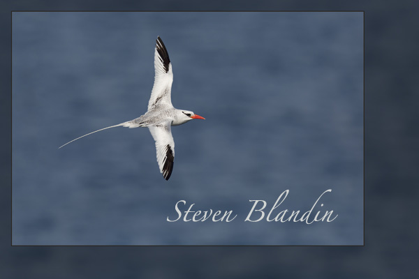Red-billed Tropicbird flight - Galapagos Islands