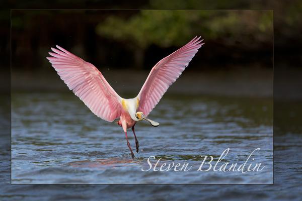 Roseate Spoonbill landing at Alafia Banks, Tampa Florida