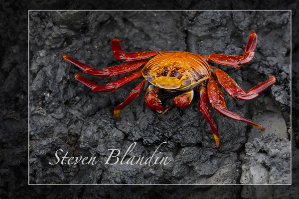 Sally light foot crab on the lava rocks - Galapagos islands
