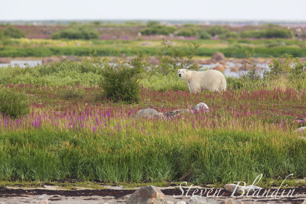 Polar Bear in the Summer landscape - Seal River