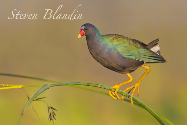 Purple Gallinule (Porphyrio martinicus) - Circle B Bar