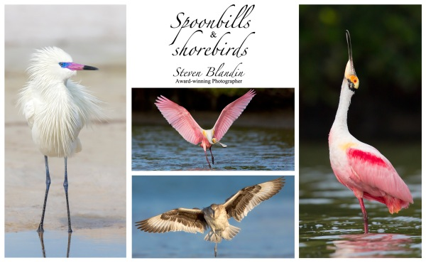 Spoonbills photography workshop - Alafia Banks, Florida
