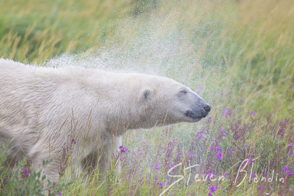Polar Bear in the summer - Canada