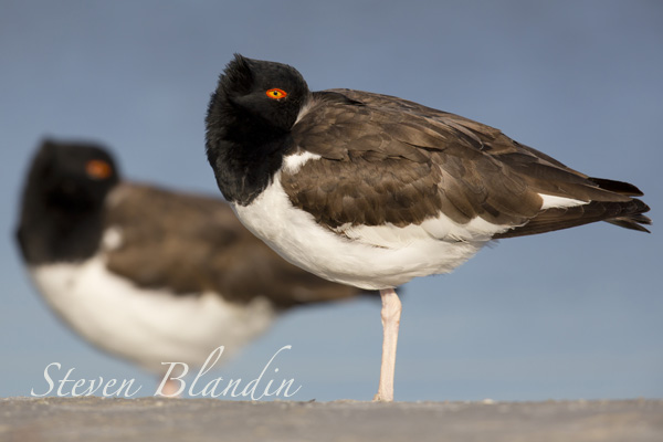 Oystercatcher - Shorebird in Florida
