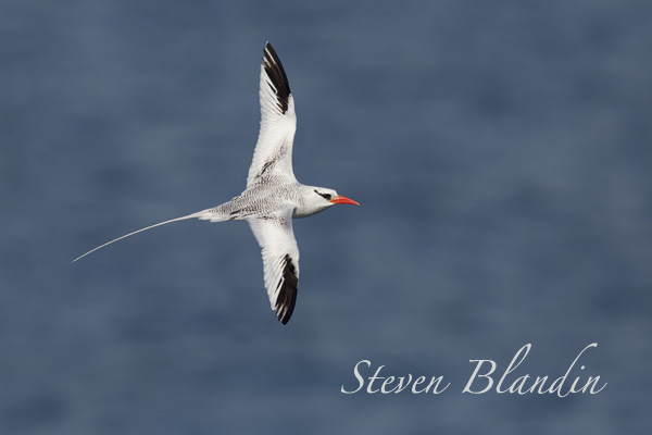 Red-billed Tropicbird banking in flight