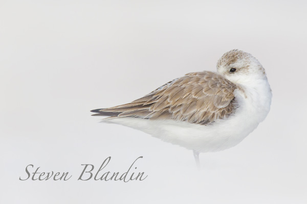 Sanderling sleeping - Florida shorebird photography workshops