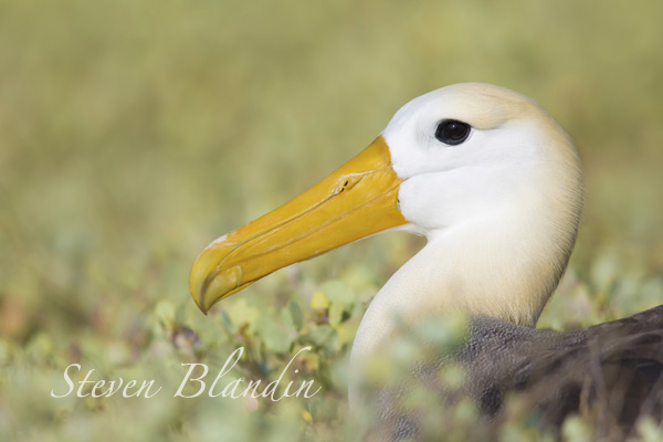 Galapagos Waved Albatross - Photography tour