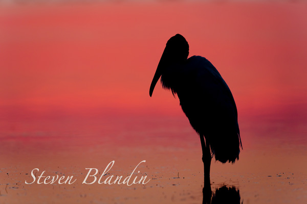 Wood Stork silhouette - Florida bird photo tour