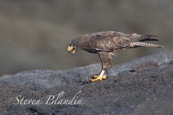 Galapagos Hawk eating an iguana - Photography workshop