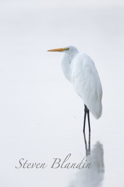 Great White Egret - Florida photography workshop
