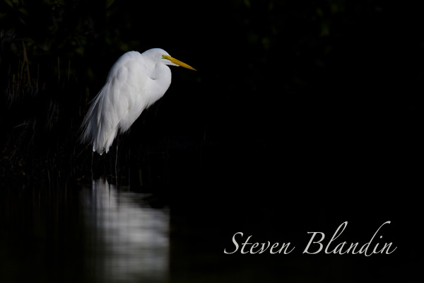 Great White Egret - Florida photography tour