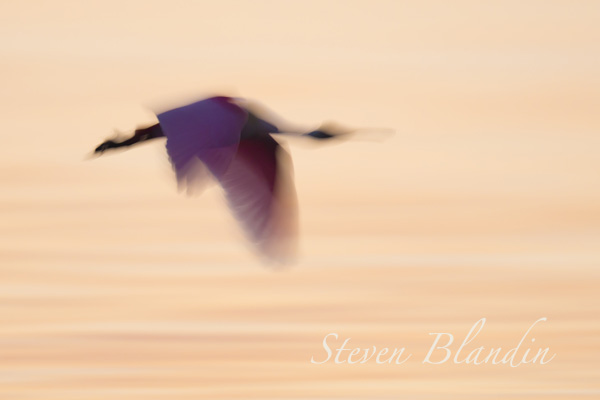 Roseate Spoonbill - Florida Alafia Banks photography workshop