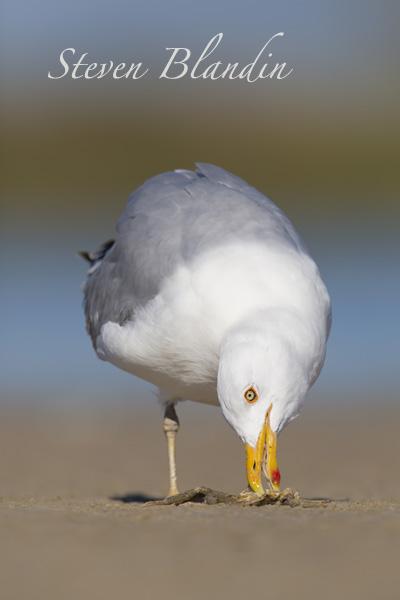 Herring Gull - Florida shorebirds photography