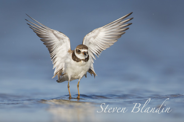 Semipalmated Plover - Fort Desoto photography tour, Florida