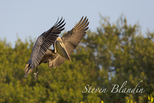 Brown Pelican - Alafia Banks, Florida