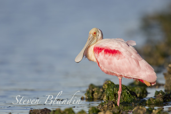 Roseate Spoonbill - Florida photo tour