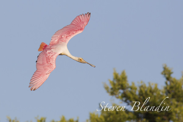 Spoonbill in flight photography tour - Florida