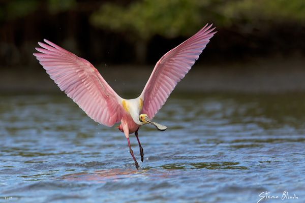 Florida Spoonbill - Fine Art Photography