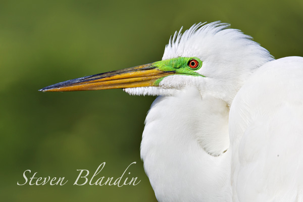 Great White Egret - Photography tour Gatorland