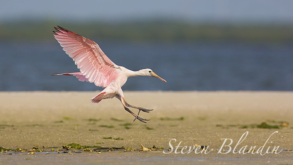 Young juvenile Spoonbill - Florida bird photography tour