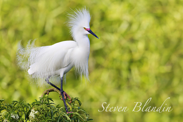 Snowy Egret - Bird photography tour in Florida