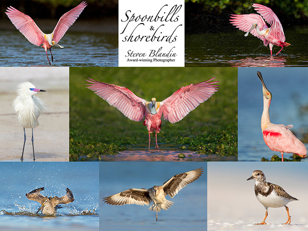 Bird photography workshop - Florida Spoonbills & Shorebirds