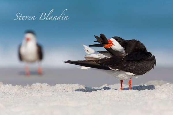 Black Skimmer preening - Indian Shores, Florida