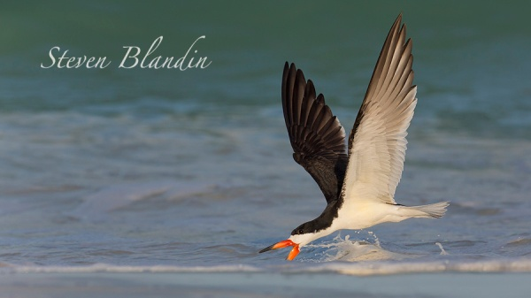 Black Skimmer skimming the water - Indian Shores, Florida photo tour