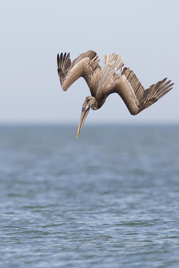Brown Pelican diving - Fort Desoto, Florida