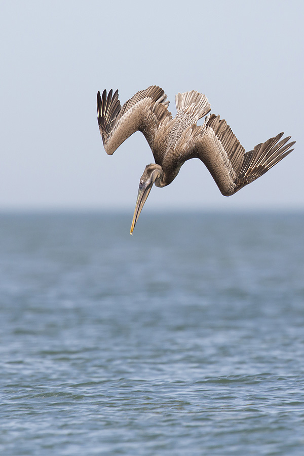 Brown Pelican diving - Fort Desoto, Florida
