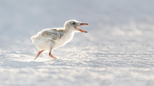 Black Skimmer chick - Photography workshop, Florida