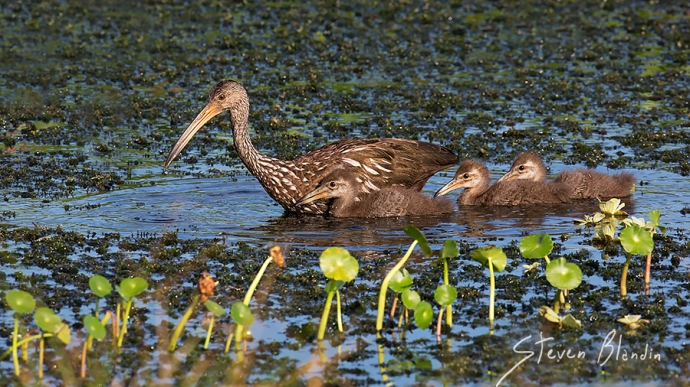 Limpkin with chicks - Florida Photography Tours