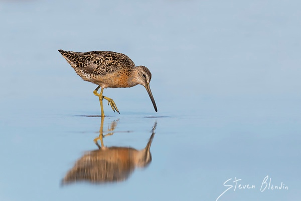 Dowitcher - Fort Desoto photography