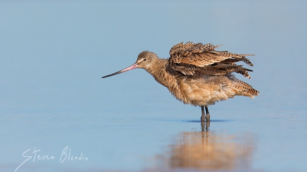 Marbled Godwit - Florida photo workshops