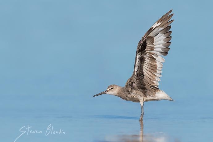Willet shorebird - Fort Desoto photography tour