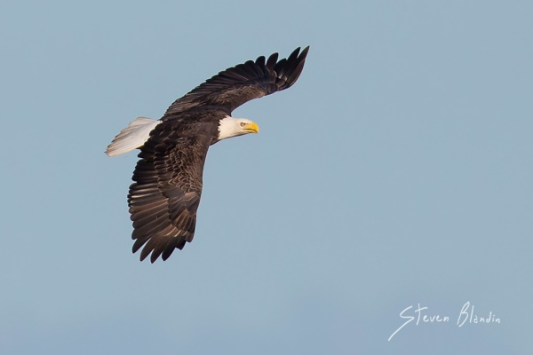 Bald Eagle in flight - Lakeland, Florida