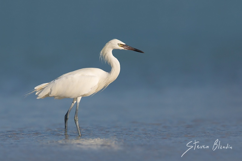 White morph Reddish Egret - Fort Desoto