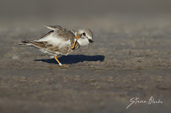Piping Plover scratching - Fort Desoto, Florida